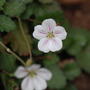 Erodium 'album'