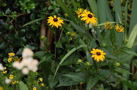 Rudbeckia and potentilla