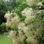 Cotinus  '   smoke bush '