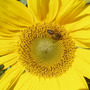 Sunflower (Heliopsis helianthoides (Early Sunflower))