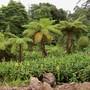 Tree ferns and Hedychium (Fern)