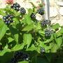 Lantana berries