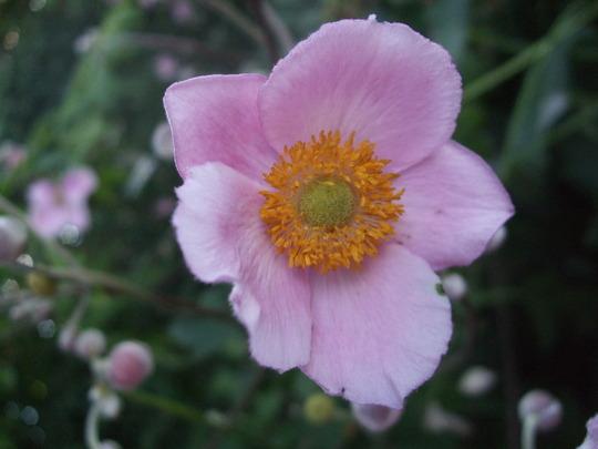 Japanese Anemone (Anemone hupehensis)