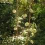 Clematis florida 'Flore Pleno' (Clematis florida Alba Plena)