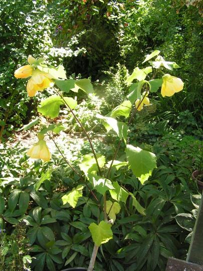 Abutilon Canary Bird Grows On You