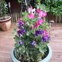 sweet pea (Lathyrus odoratus (Sweet Pea))