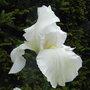 Bearded_iris_4.jpg (Bearded iris)