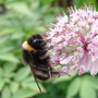 Bumble on Astrantia