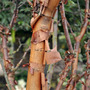 Acer griseum (Paper Bark Maple) (Acer griseum (Paper-bark maple))