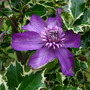 Clematis Cassis Fully open flower.