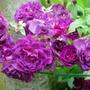 Rosa 'Bleu Magenta'