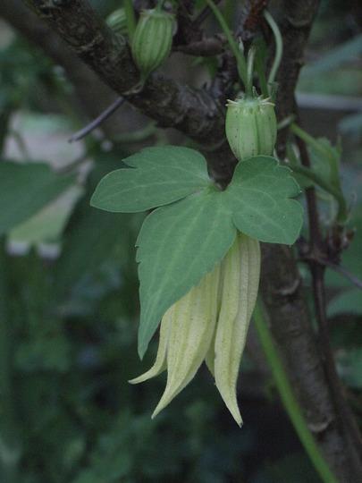 Clematis chiisanensis (Clematis chiisanensis)