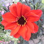Dahlia_bishop_of_llandaff_