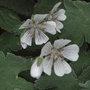 Geranium renardii (Geranium renardii)