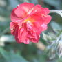 Helianthemum 'Red Orient' (Helianthemum)
