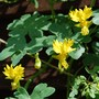 Canary Creeper (Tropaeolum peregrinum (Canary creeper))