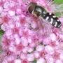 Hoverfly on Spiraea