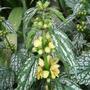 Lamium galeobdolon 'Hermans Pride' (Lamium galeobdolon 'Hermans Pride')