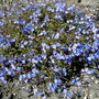 veronica pedunculata Georgia Blue (veronica pedunculata georgia blue)