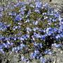 veronica pedunculata Georgia Blue (veronica pedunculata georgia blue)