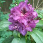 Rhododendron 'Purple Splendour' - close-up (Rhododendron 'Purple Splendour')