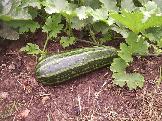 Our  Allotment, marrow
