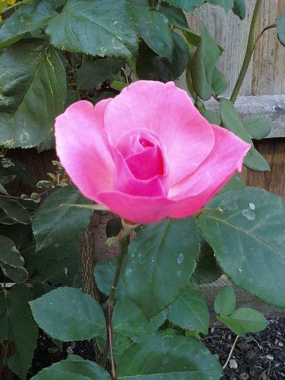 my 1'st rose