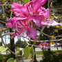 Bauhinia x blakeana - Hong Kong Orchid Tree's Fragrant Flowers blooming at the wrong time of year (Bauhinia x blakeana - Hong Kong Orchid Tree)
