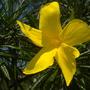 Thevetia thevetioides - Giant Thevetia Flower (Thevetia thevetioides - Giant Thevetia)