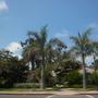 Roystonea regia - Royal Palms close to the International Houses (Roystonea regia - Royal Palm)