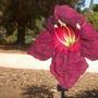 Kigelia africana - Sausage Tree Flower (Kigelia africana - Sausage Tree)