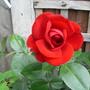Dublin bay rose (Climbing Rose)