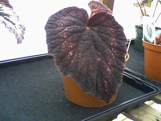 B. Black Knight (Begonia)