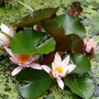 Water lillies en masse.
