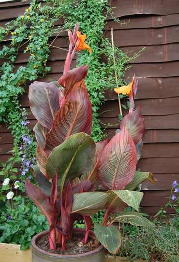 Canna Phasion (Canna indica (Indian shot plant))