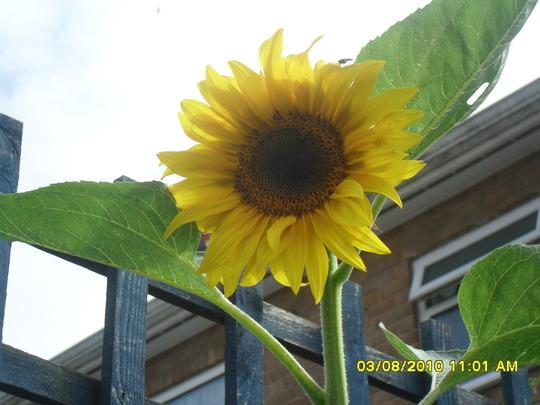 sunflower opened