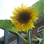 Sam_1485_sunflower