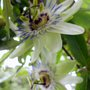 2 PASSION FLOWERS
