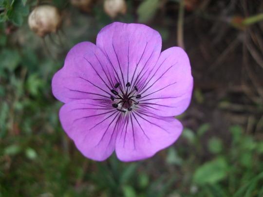 Geranium 'Syabru' (Geranium wallichianum (Wallich Geranium))