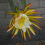 Hylocereus undatus - Dragon Fruit Flower (Hylocereus undatus - Dragon Fruit)