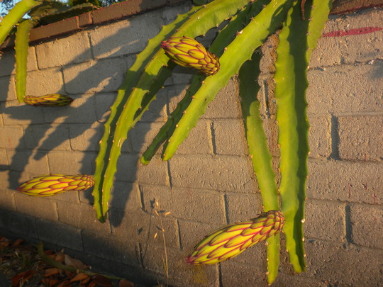 Hylocereus undatus - Dragon Fruit Buds (Hylocereus undatus - Dragon Fruit)