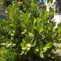 Clusia rosea - Autograph Tree, Pitch Apple (Clusia rosea - Autograph Tree, Pitch Apple)