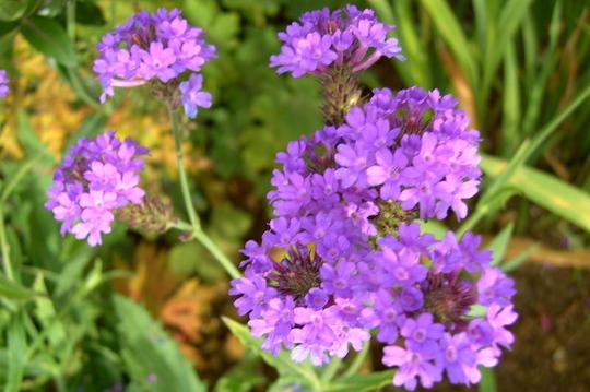 Verbena rigida  (Verbena rigida)