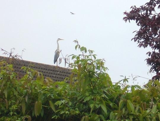 Huge heron ... not a plastic one !