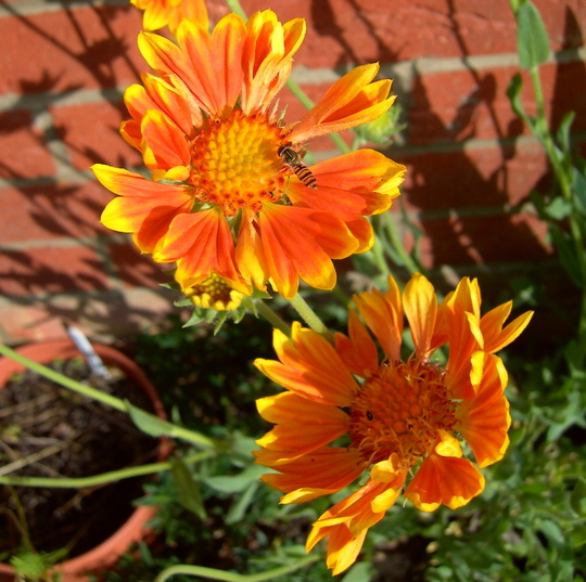 Gaillardia 'Oranges and Lemons'  (Woodwardia fimbriata (Giant chain fern))