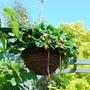 Basket of Strawberries......