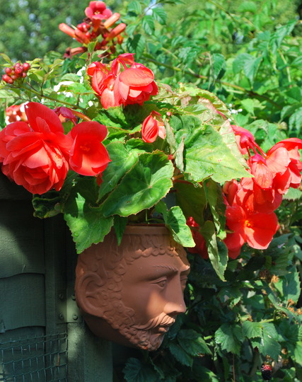 Man with Begonia........ (Begonia)