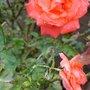 RED ROSES ROSE BUD