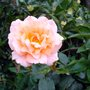 PINK FRAGRANT ROSE BUD