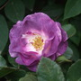 Rosa_blue_to_you_